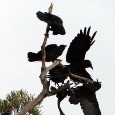 Constable of Ravens