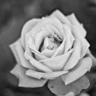 Rose of Stone