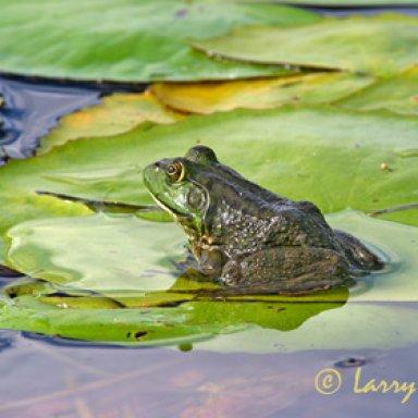 Frog Giggin