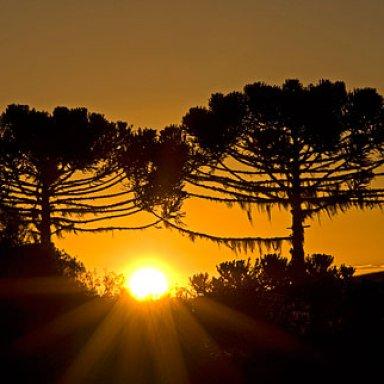 Araucaria (The nemesis Tree) Remaster