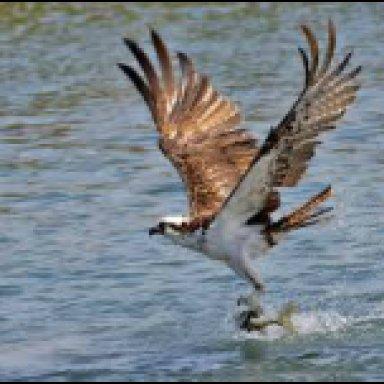 Samba da Aguia Pescadora